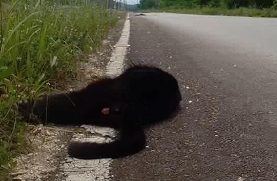 Los monos aulladores fueron ubicados en la ruta que conduce al municipio de Las Cruces, Petén. (Foto: Facebook, Telenoticias de Petén)