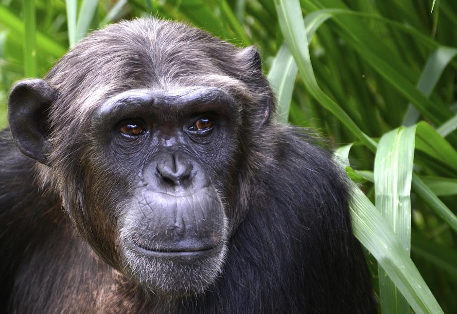 El chimpancé vive en una gran variedad de hábitats que incluyen las selvas tropicales. (Foto: Deccio Serrano/Nuestro Diario)