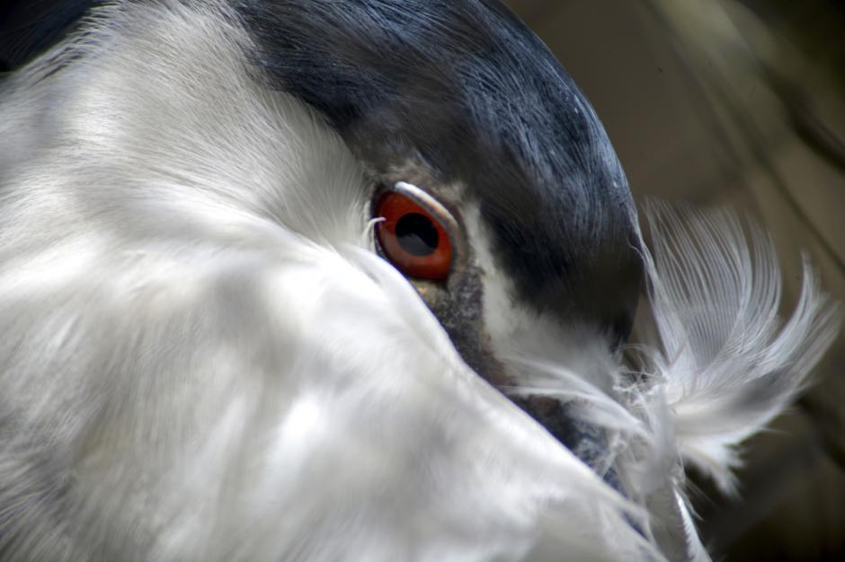 """La garza bruja es un ave zancuda, emiten un sonido similar a un ladrido de perro, lo que les dio el nombre de """"perro de agua"""" o """"zorro de agua"""". (Foto: Deccio Serrano/Nuestro Diario)"""