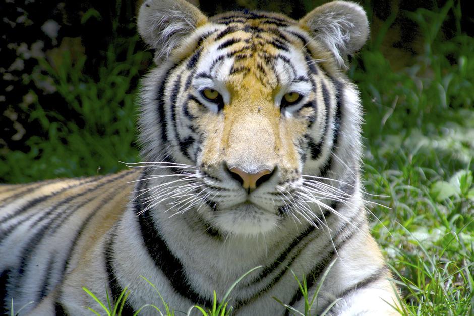 El tigre de Bengala, también llamado tigre de Bengala real o tigre indio, es una subespecie representativa de la India. (Foto: Deccio Serrano/Nuestro Diario)