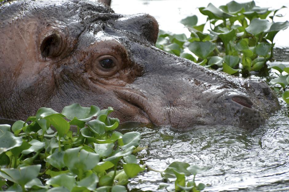 El hipopótamo es el tercer animal terrestre más grande del mundo, después del elefante y el rinoceronte blanco.  (Foto: Deccio Serrano/Nuestro Diario)