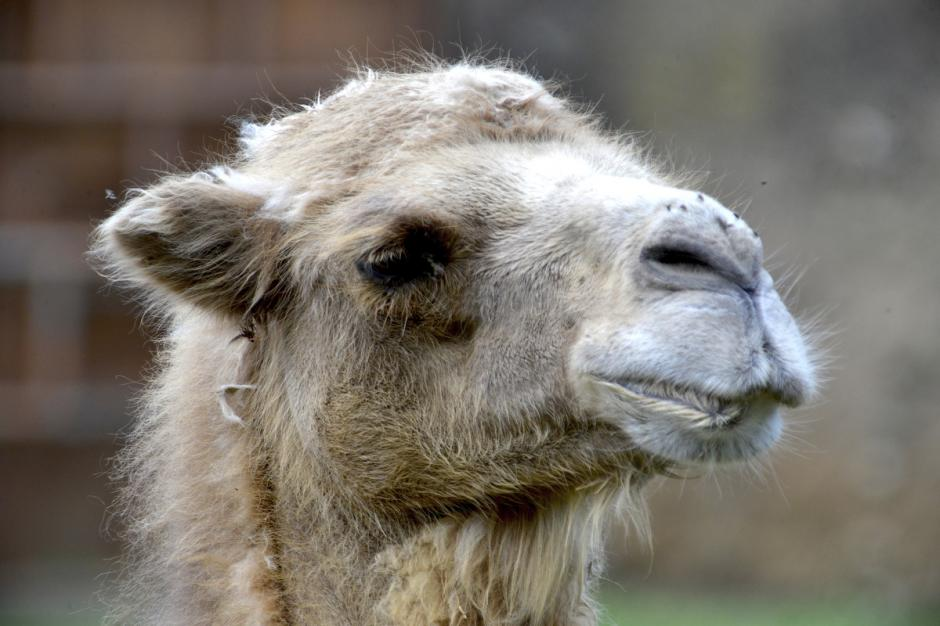 Los ojos de un camello estan protegidos con una doble fila de rizados pestañas que también ayudan a evitar la entrada de arena y polvo. (Foto: Deccio Serrano/Nuestro Diario)
