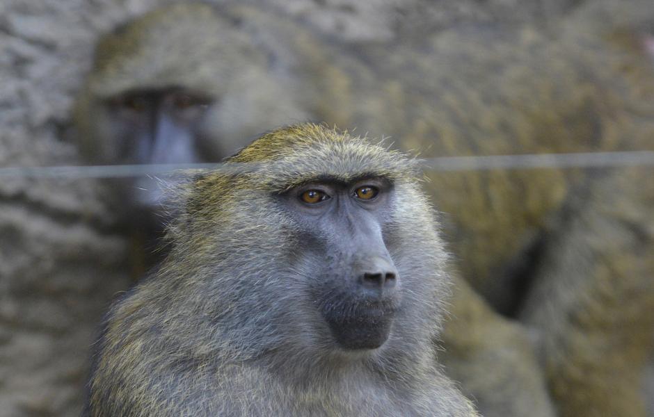 El macaco japonés tiene una característica muy particular,  es el único animal conocido por lavar sus alimentos antes de comerlos. (Foto: Deccio Serrano/Nuestro Diario)