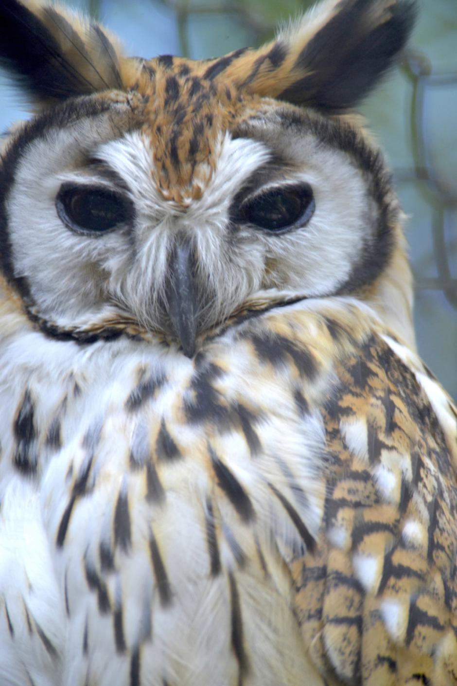 Los búhos tienen tres párpados para proteger sus enormes ojos. (Foto: Deccio Serrano/Nuestro Diario)