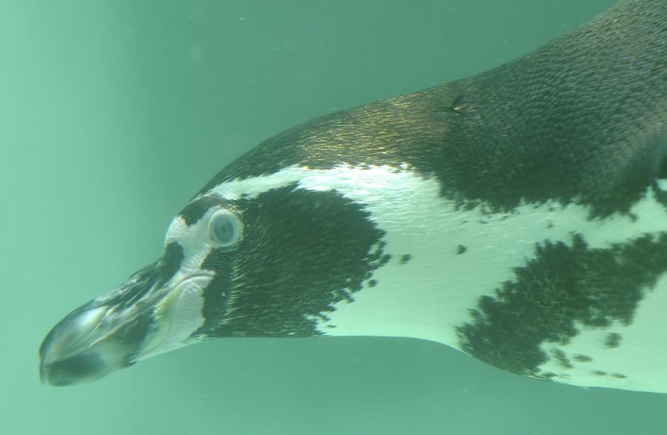 El pingüino de Humboldt es una especie de ave no voladora, habita en el Océano Pacífico. (Foto: Deccio Serrano/Nuestro Diario)