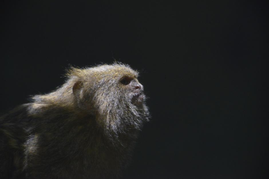 El mono marmoseta es una especie de primate suramericano,mamíferos de aproximadamente 15 cm de alto. (Foto: Deccio Serrano/Nuestro Diario)
