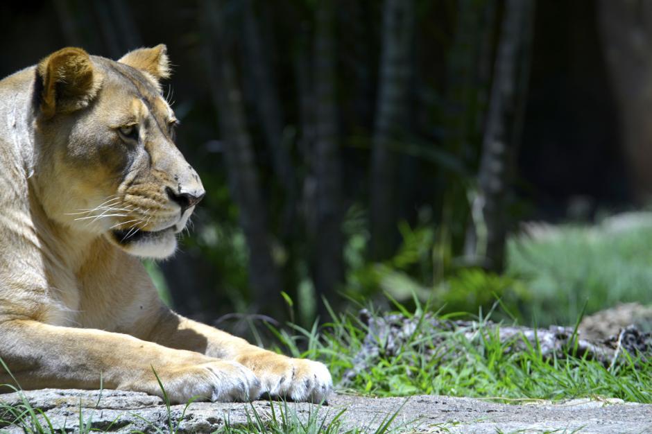 Las leonas representan la fuerza, la vigilancia y el instinto protector.(Foto: Deccio Serrano/Nuestro Diario)