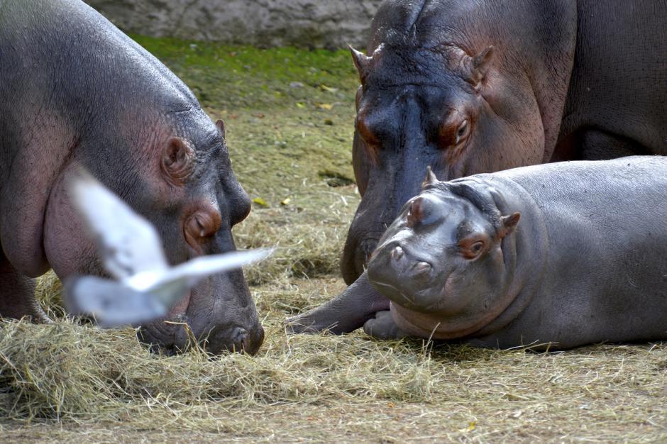 El periodo de gestación suele durar entre 32 y 34 semanas, luego del cual nace una sola cría de alrededor de 45 kilogramos de peso. (Foto: Deccio Serrano/Nuestro Diario)