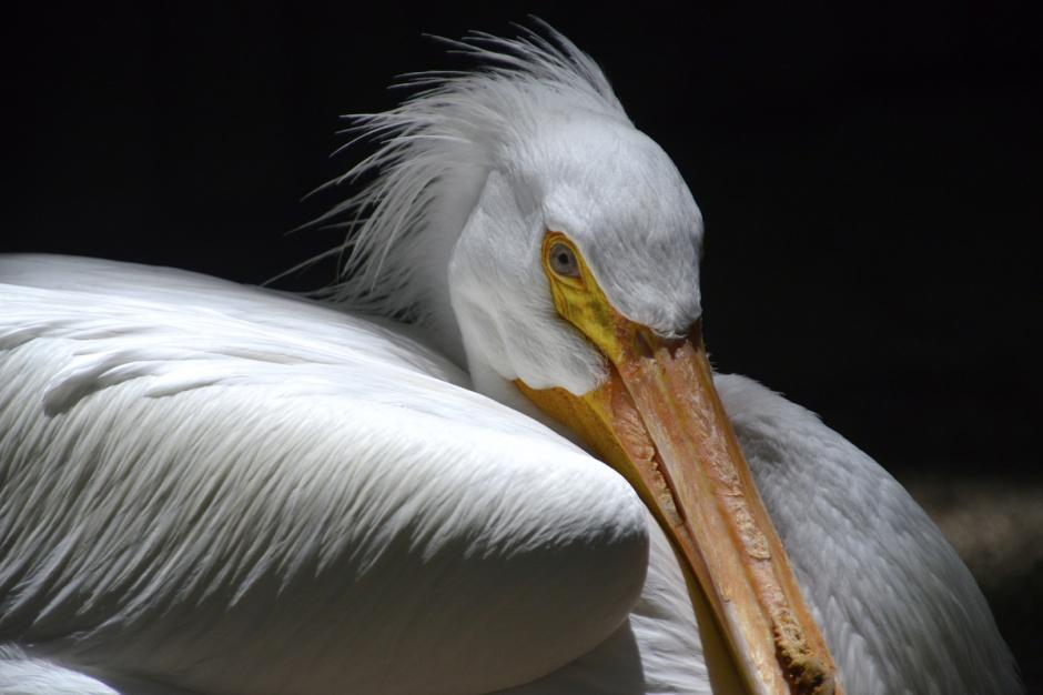 La Garza Blanca es una ave largas patas y cuello en forma de S se encuentra por todo el continente americano y en muchas regiones del mundo. (Foto: Deccio Serrano/Nuestro Diario)