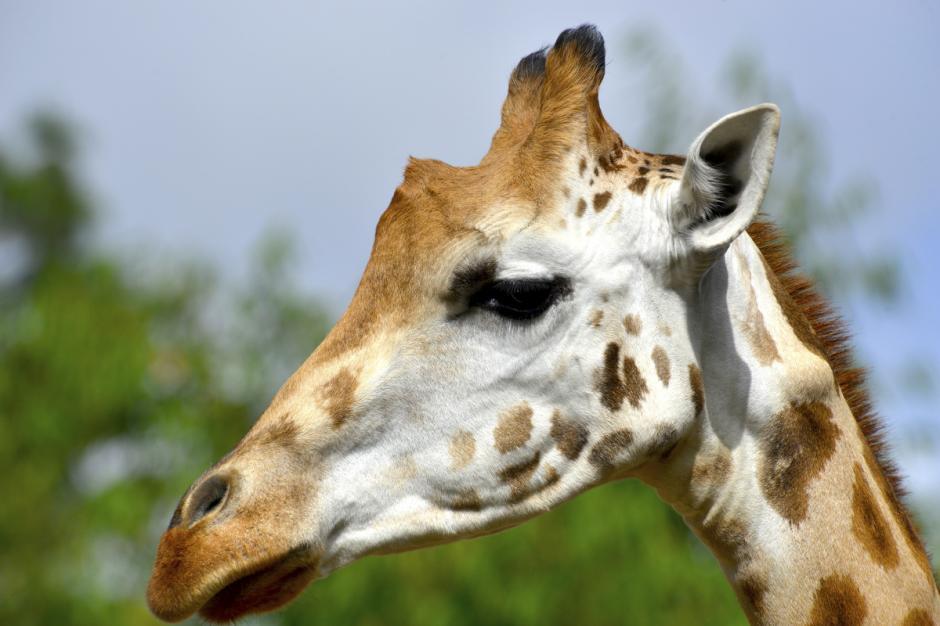 El ojo de la jirafa en los adultos machos a menudo es del tamaño de una pelota de golf. (Foto: Deccio Serrano/Nuestro Diario)