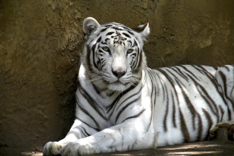 El majestuoso tigre blanco hermoso, este animal de Bengala, India, representa una de las especies sobrevivientes de tigres salvajes.  (Foto: Deccio Serrano/Nuestro Diario)