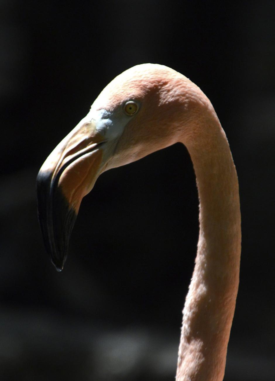 Esta hermosa y elegante ave, se distingue fácilmente del resto de las aves por el color rosado de su plumaje, aunque también existen de color rojo y blanco. (Foto: Deccio Serrano/Nuestro Diario)