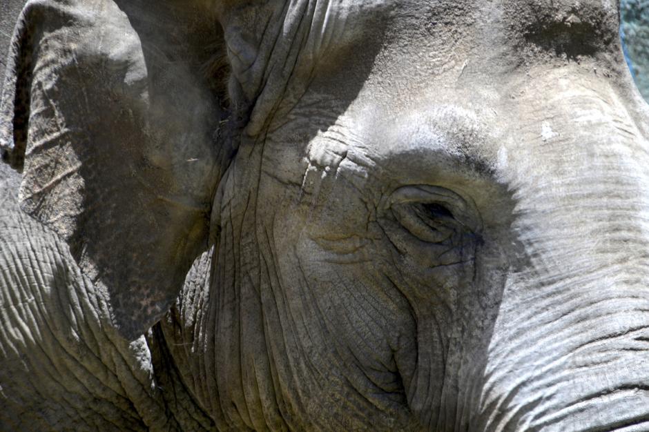 El elefante tienen el cerebro más grande de los animales terrestres, si bien en proporción al tamaño de su cuerpo es más pequeño que el nuestro, la inteligencia se demuestra por su forma de comunicarse. (Foto: Deccio Serrano/Nuestro Diario)