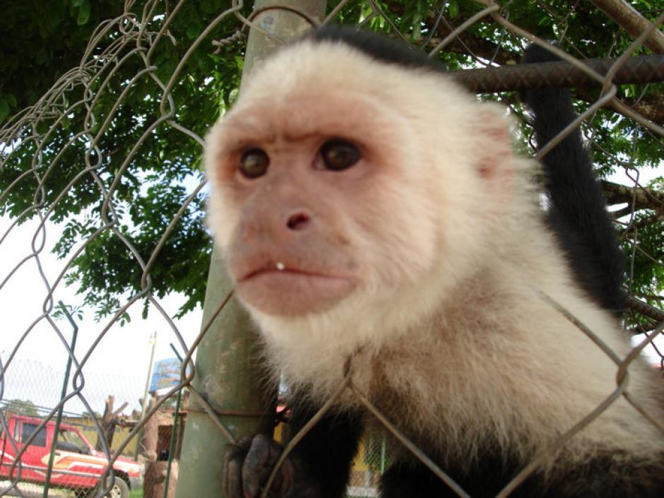 Este mono capuchino también forma parte del zoológico privado de Mendoza Matta. (Foto: Facebook)