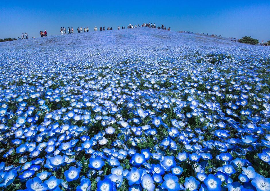 Este es un campo de flores azules de Japón. (Foto:Hidenobu Suzuki/National Geographic)