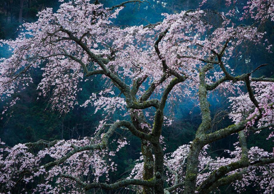 Un cerezo fotografiado durante su florecimiento en Japón. (Foto: Katsuyoshi Nakahara/National Geographic)