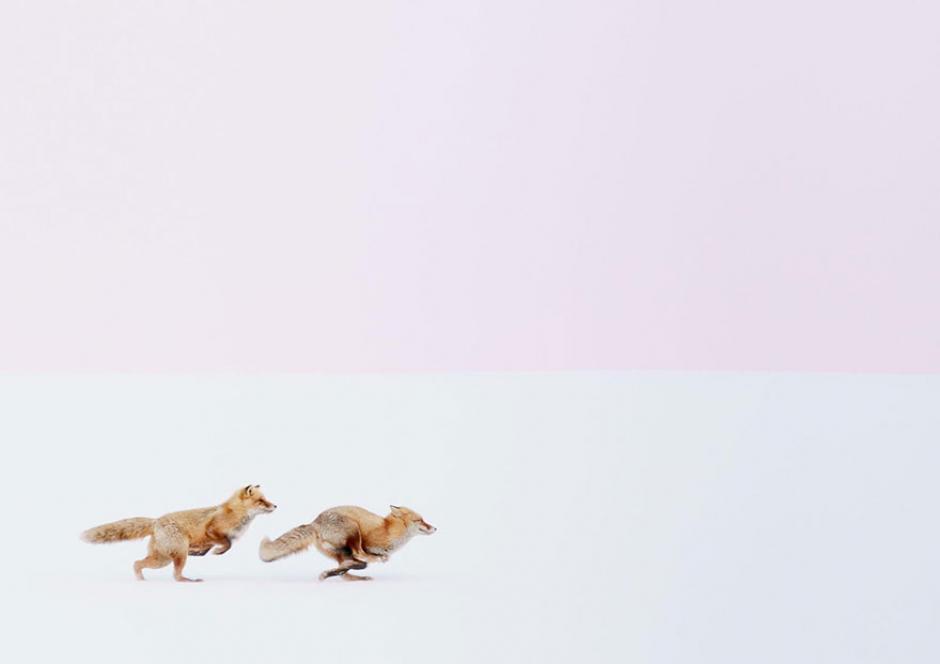 Una pareja de zorros atraviesa un campo cubierto de nieve en Japón. (Foto: Hiroki Inoue/National Geographic)