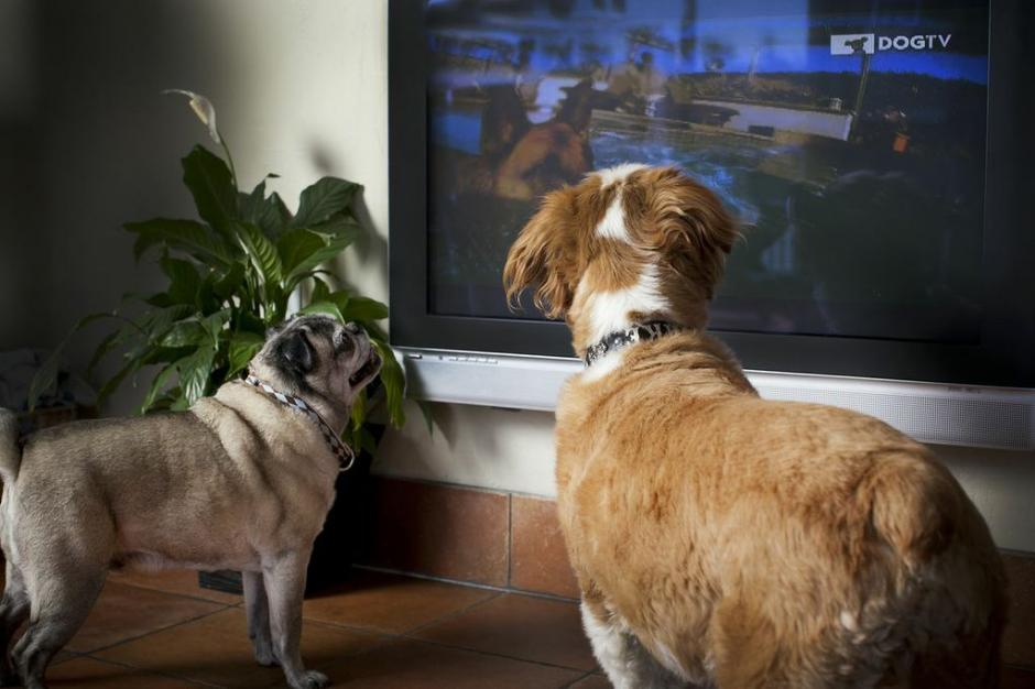 Un perro promedio puede ver hasta nueve horas de televisión a la semana