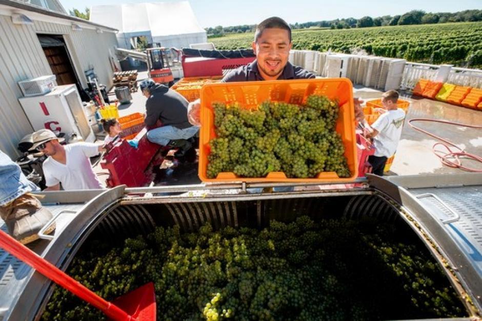 Seferino Cotzojay conoce todo el proceso para producir el mejor vino. (Foto: Twitter)