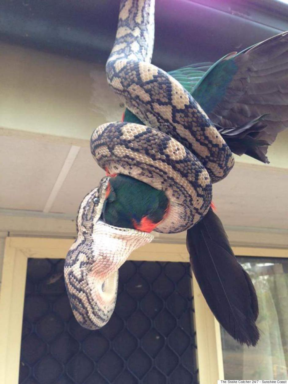 A pesar del gran tamaño del loro, esto no fue impedimiento para que la serpiente se lo comiera.