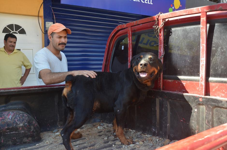 Según la Ley para el Control de Animales Peligrosos, la raza Rottweiler está clasificada entre los animales potencialmente peligrosos. (Foto: José Sánchez/Nuestro Diario)