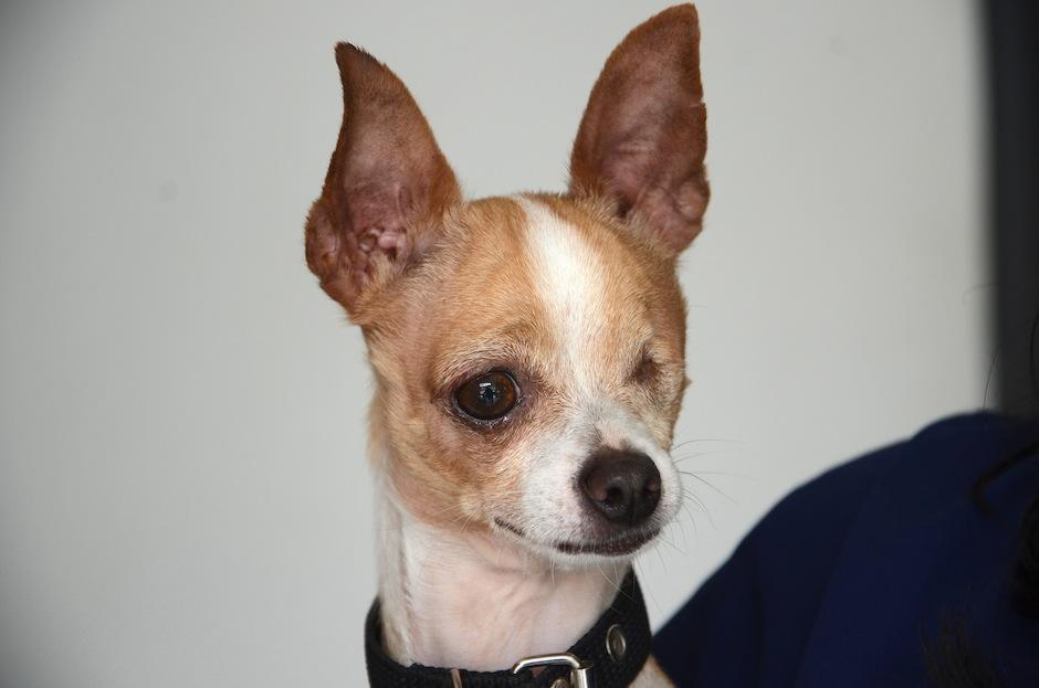"""Drake es un lindo chihuahua que los fundadores de Pet Rescue adoptaron en la asociación """"Mascotas x amor""""; el perrito fue abandonado por perder su ojo, luego de una seria pelea con otro can; ahora es muy feliz. (Foto: Selene Mejía/Soy502)"""