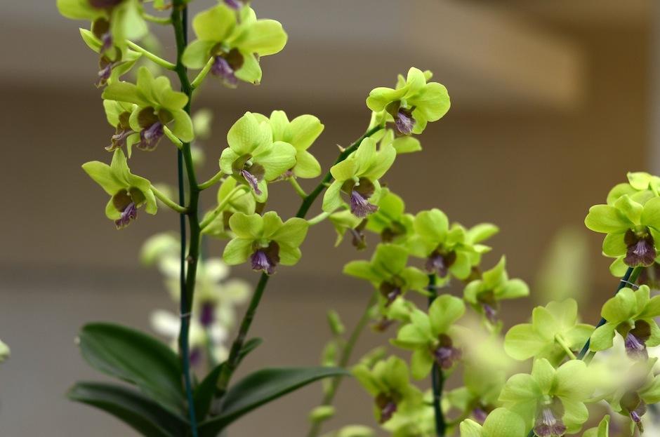Las orquídeas más lindas del mundo pueden ser admiradas. (Foto: Esteban Biba/Soy502)