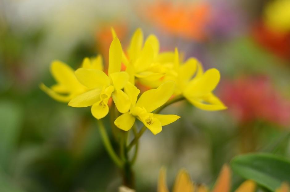 """La """"Guarianthe Aurantiaca"""" puede ser admirada en todos muchos colores: amarillo, naranja, rojo, blanco y rosa. (Foto: Esteban Biba/Soy502)"""