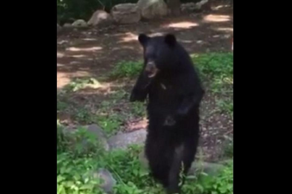 Este oso se llama Pedal y no es la primera vez que aparece. (Foto: Captura de video)