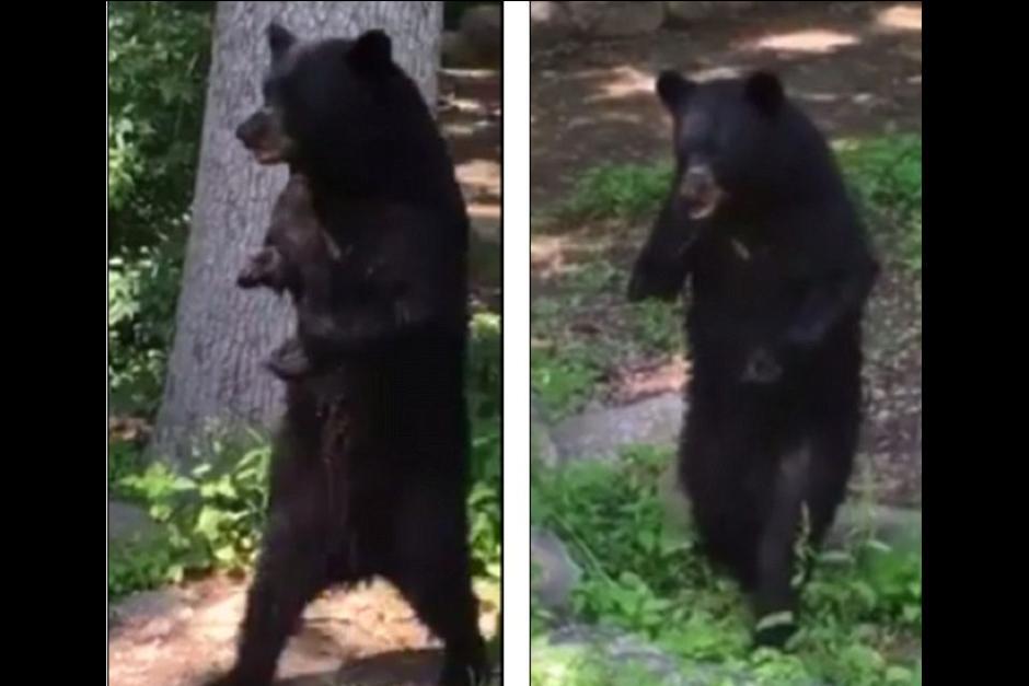 A Pedal le es difícil caminar como lo hace un oso normal. (Foto: Captura de video)