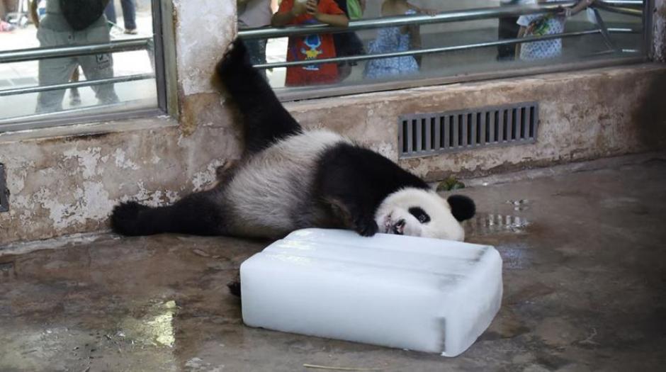 El calor obligó al zoológico a darle un cubo de hielo al panda. (Foto: Facebook CCTV News)