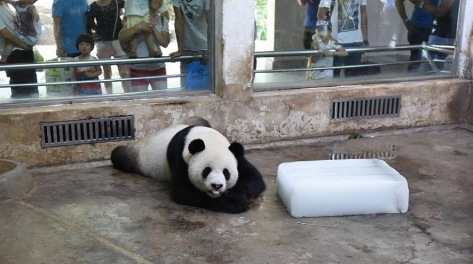 El oso panda recibe el hielo como un gran regalo. (Foto: Facebook CCTV News)