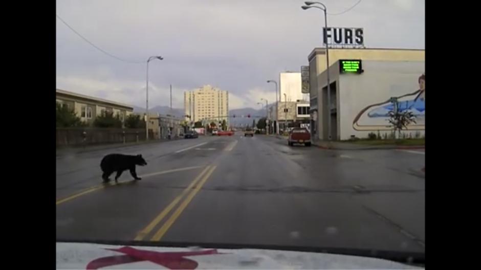 Estos animales suelen aparecer a veces por la ciudad en busca de comida. (Foto: Captura de YouTube)