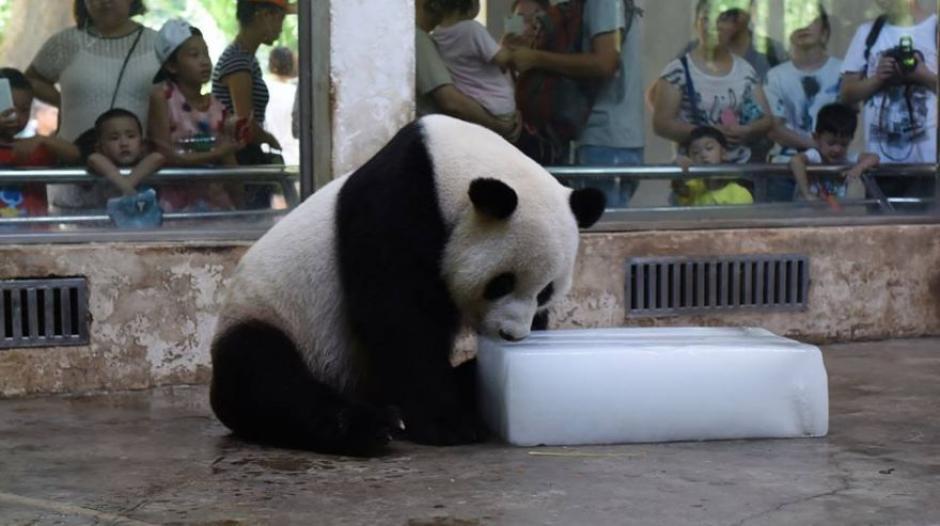 Lo observa y juega con el hielo por el calor. (Foto: Facebook CCTV News)