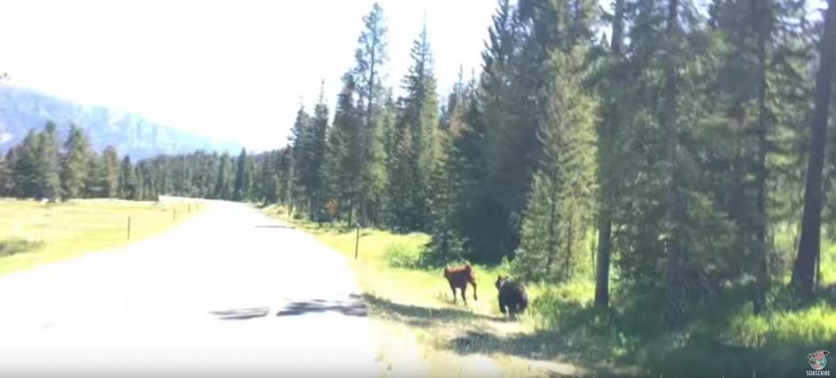 Un oso pardo persigue a una vaca. (Captura de pantalla: ViralHog/YouTube)