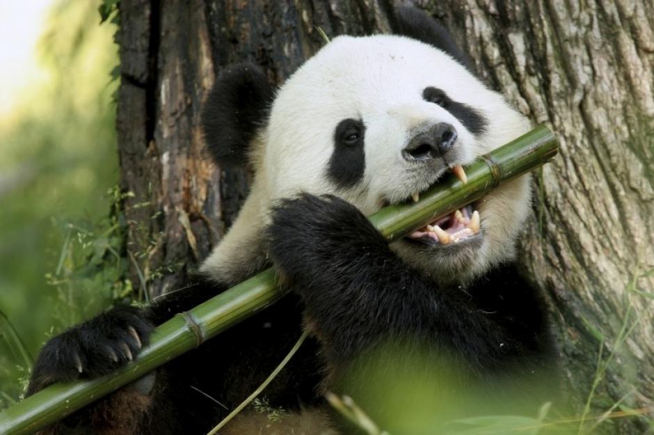 El oso panda ha salido de la lista de especies en peligro de extinción. (Foto: es.reinoanimalia.wikia,com)