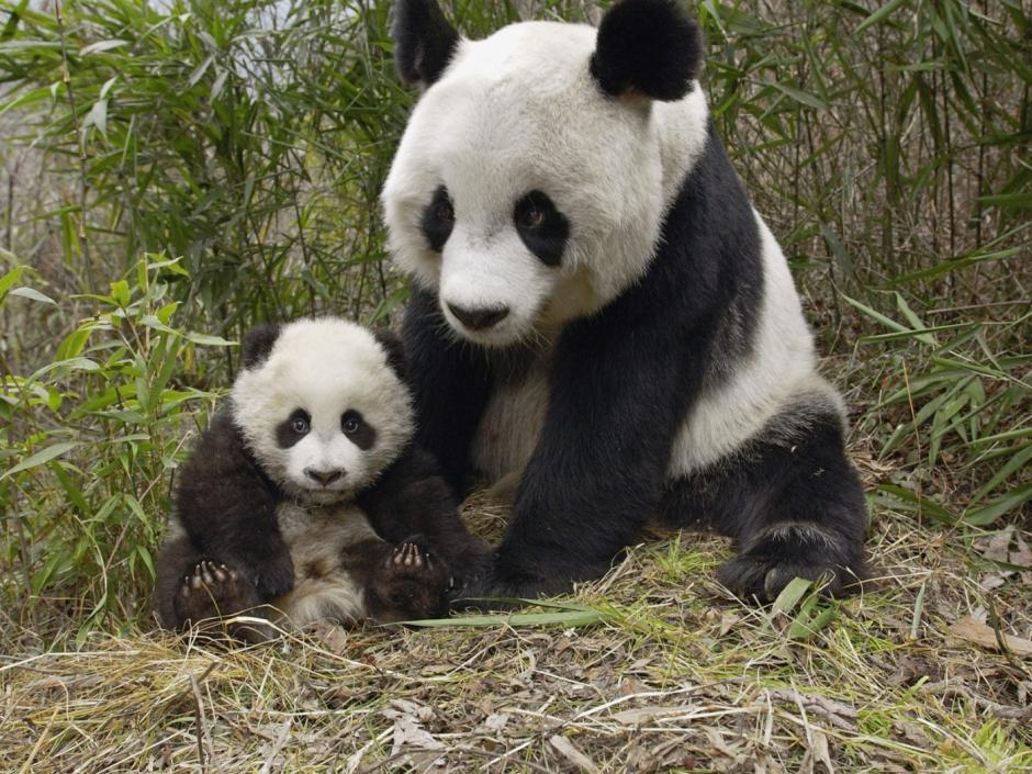 1 mil 864 ejemplares vivían en libertad en el sur de China en 2014. (Foto: noticiasambientales.com.ar)