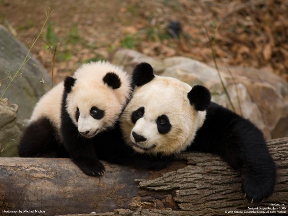 """La IUCN ha catalogado a esta especie en la categoría de """"amenazado"""" por la pérdida de su hábitat. (Foto: octavio5b.blogspot.com)"""