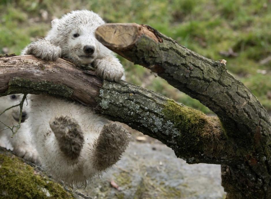 Dos osos polares exploran sus instalaciones al aire libre del Zoo Hellabrunn por primera vez en Múnich (Alemania). Las crías nacieron el pasado 9 de marzo y fueron presentados al público este miércoles. (Foto: Sven Hoppe/EFE)