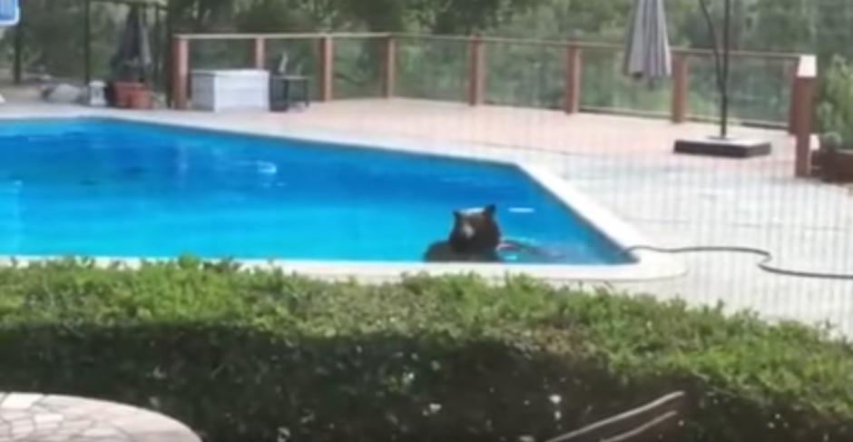 El intenso calor del lugar obligó al oso a buscar un espacio donde refrescarse. (Captura de pantalla: Arcadia Police Department/YouTube)
