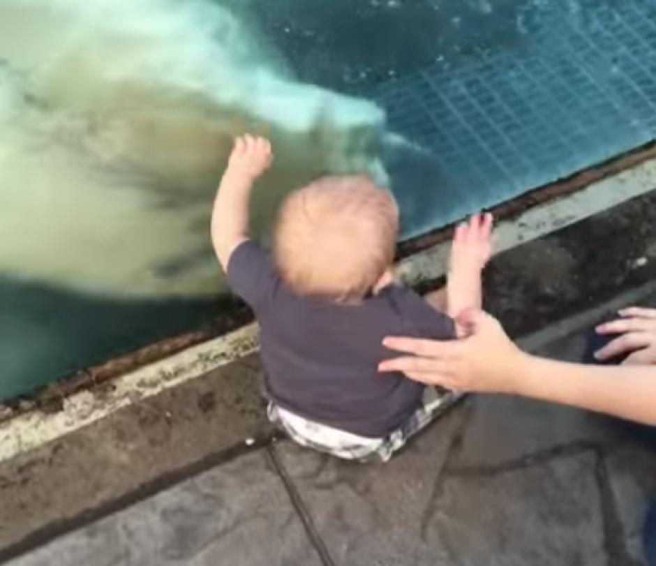 El oso polar baja hasta llegar al punto en donde se encuentra el bebé. (Captura de pantalla: Phat Phantom 4/YouTube)