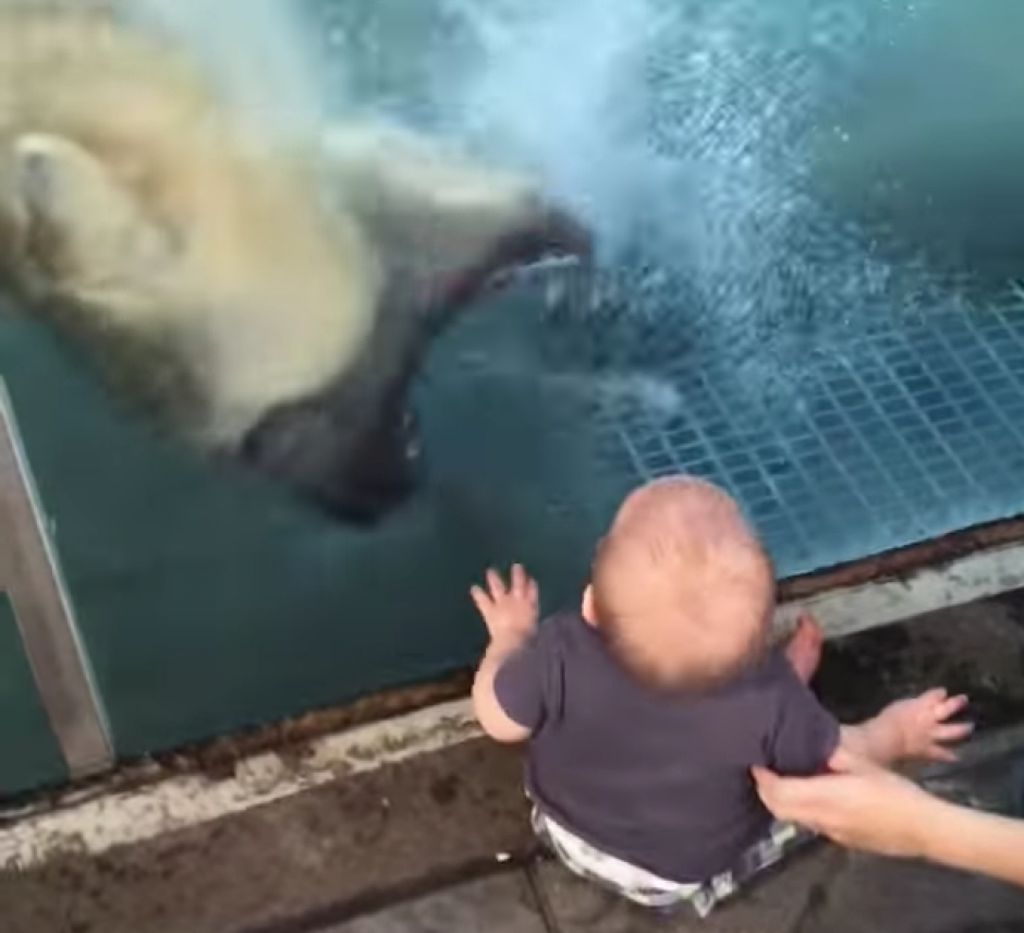 De pronto el oso polar abre las fauces y muestra los colmillos. (Captura de pantalla: Phat Phantom 4/YouTube)