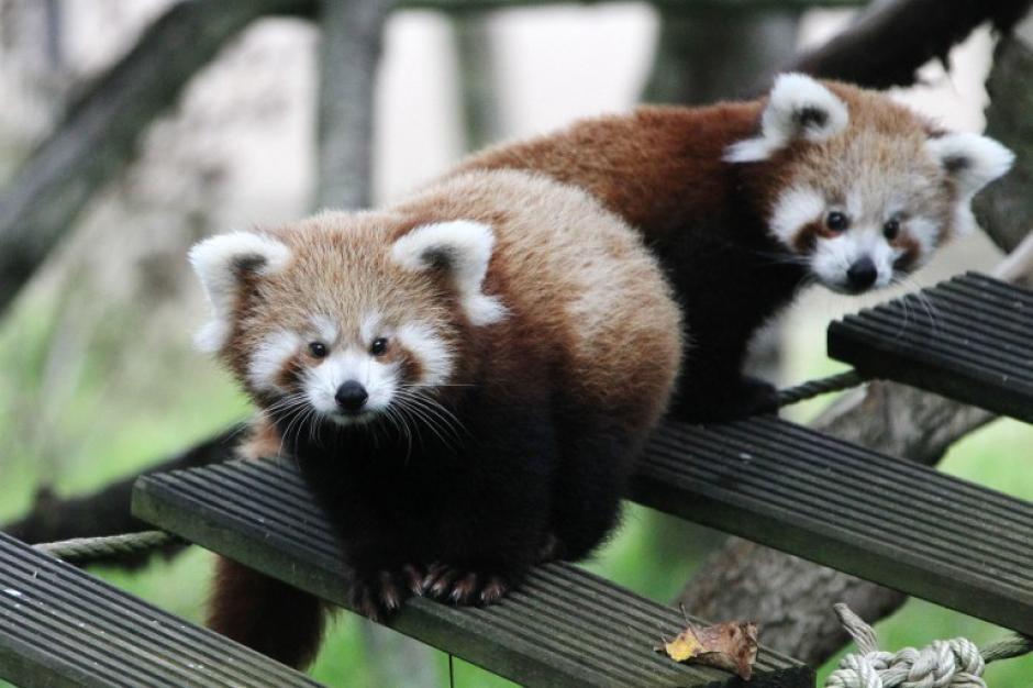 Dos bebés pandas en el zoológico de Francia