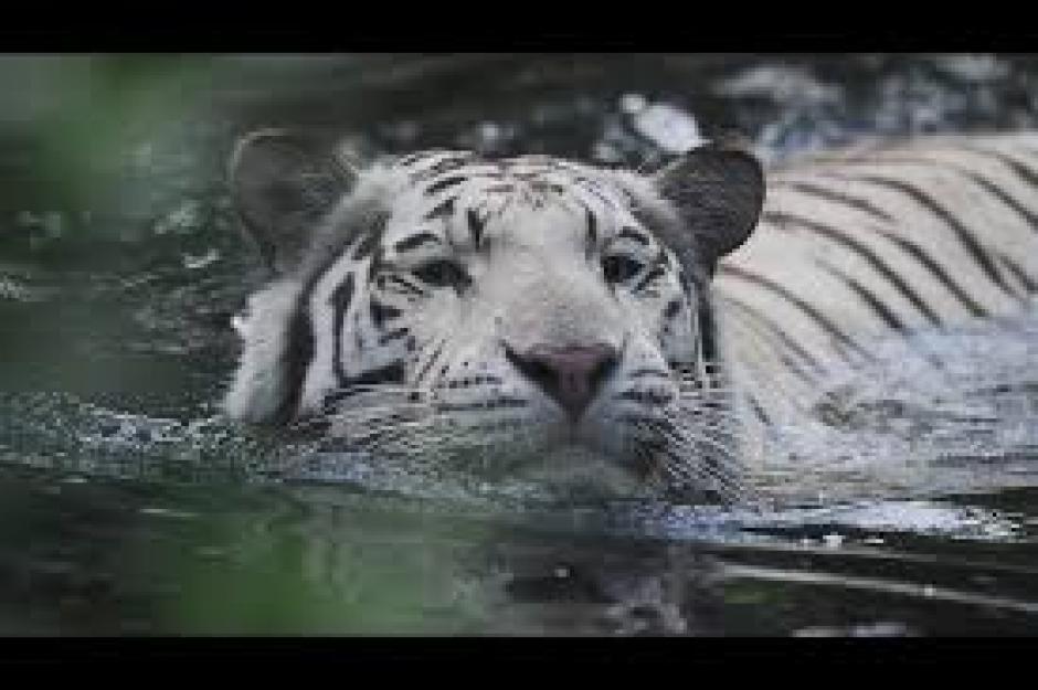 Un Tigre De Bengala Llamado Papo Se Escap La Fundacin Refugio Salvaje