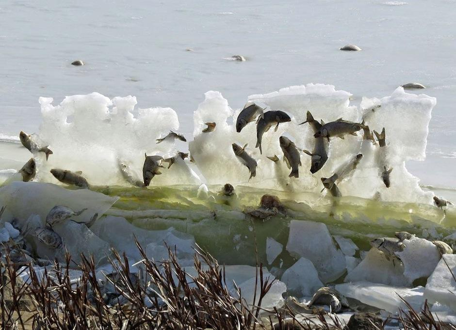 Los peces del lago Andes quedaron atrapados en plena ola congelada. (Foto: National Wildlife Refuge System)