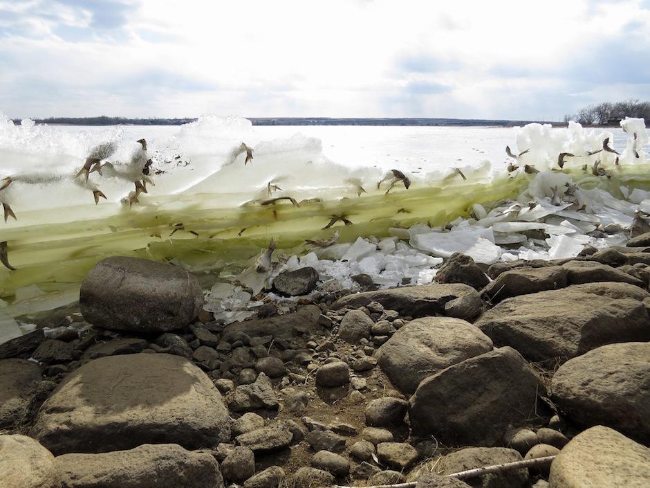 Las fotos exponen las colas de los peces. (Foto: Kelly Preheim)