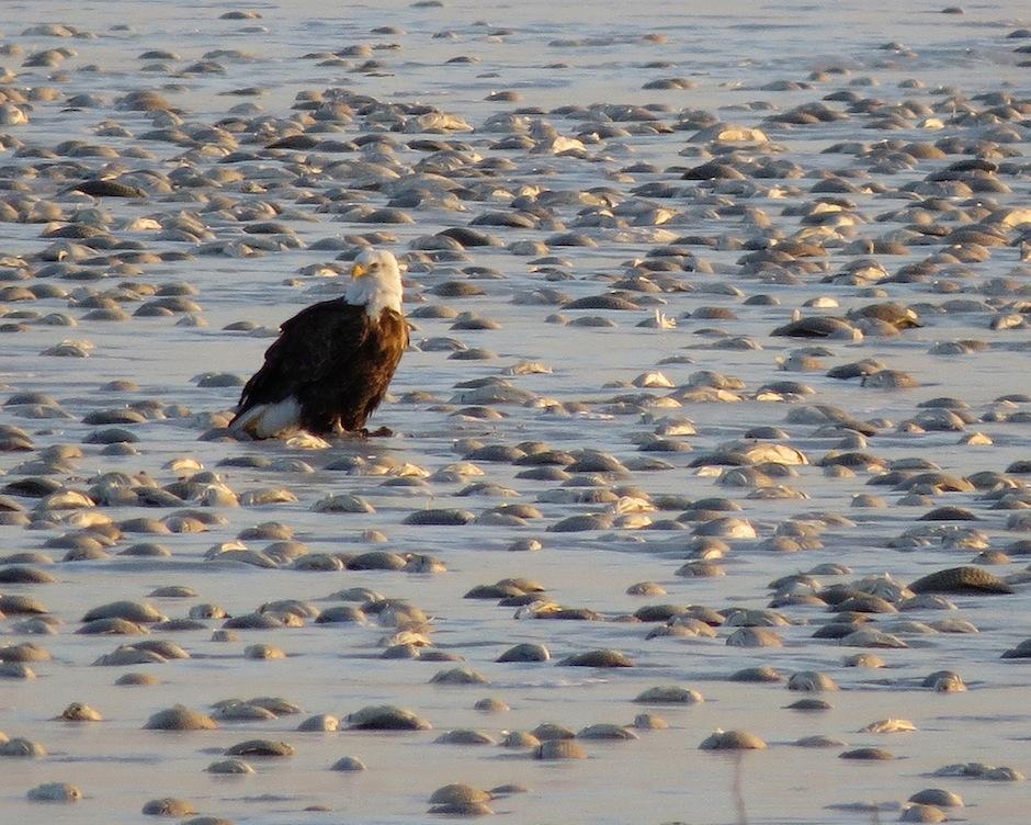 Las águilas esperaban ansiosas hasta que los peces se descongelaran para darse un festín. (Foto: Kelly Preheim)