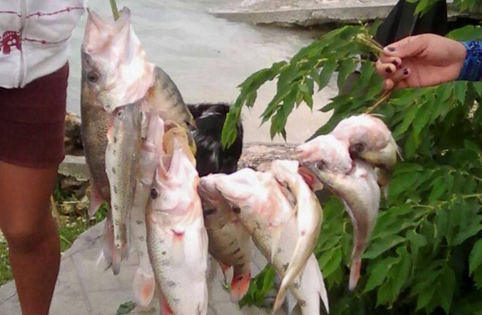 En la madrugada del jueves llegó un reporte de la muerte de varios peces de la especie Petania Splendida. (Foto: Facebook, Telenoticias de Petén)