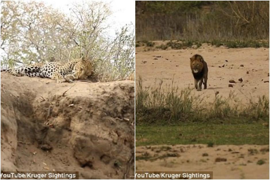 El leopardo se encontraba descansando, pero el león lo acechaba. (Imagen: captura de YouTube)