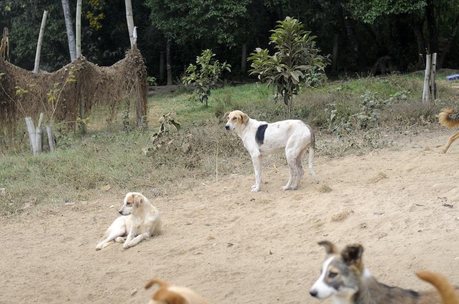 Otros perros son utilizados para experimentos. Anaité tiene algunos de ellos sin párpados o sin pedazos de piel, ya que fueron utilizados para este propósito. (Foto: Esteban Biba/Soy502)